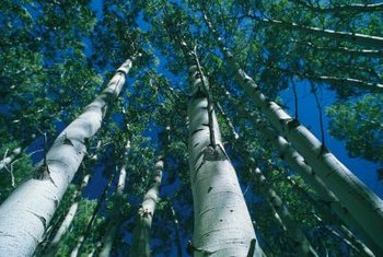 European white birch trees have a particular appearance.