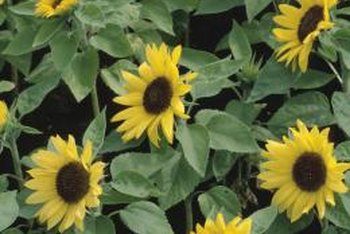 A fast-growing annual, sunflowers need full sun and well-drained, moist soil.