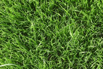 Nitrogen promotes rapid leaf growth, a prime requirement for lawns.