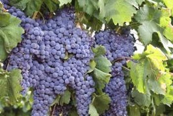 Proper grape vine care increases grape production and fruit quality.