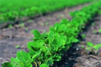 Soybeans add nitrogen to the soil.