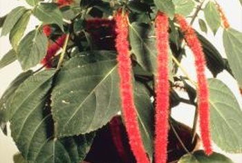Some chenille plants produce female flowers and others produce male flowers.