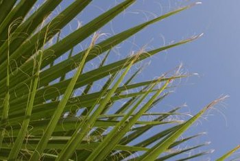 Never trim healthy green fronds from palmetto palms.