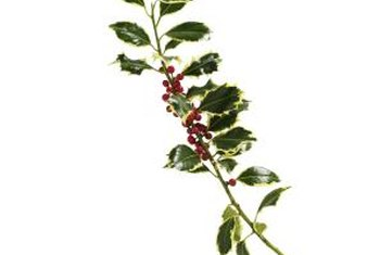 Holly has shiny pointed green leaves and red berries.