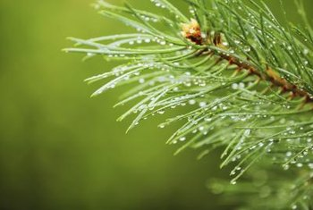 Wet the pine needles with water to protect them from any bleach solution overspray.