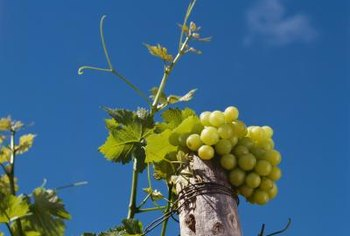 Grow your own seedless grapes at home.