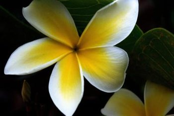 Plumeria trees often produce bicolored blooms.