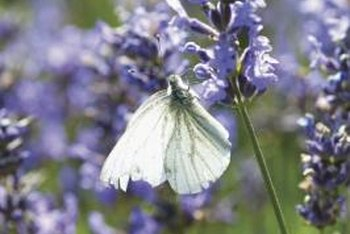 Mexican bush sage flowers attract butterflies.