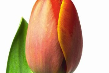 Early Blooming Tulips Are Recommended For Forcing In Water