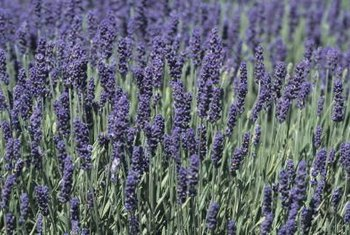 Lavender is often used to make sachets and perfume.