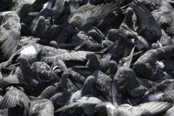 Pigeons aren't dangerous themselves, but their droppings may affect your health.
