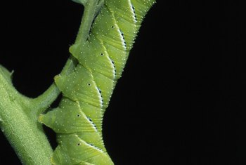 Caterpillars have a voracious appetite.