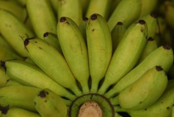 "Underripe bananas are rich in indigestible ""resistant"" starches."