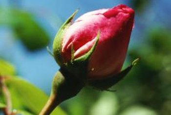 More rosebuds means more abundant flowering on the plant.
