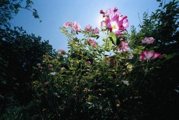 Thorn bushes such as roses can scratch skin if you don't wear protective gear.