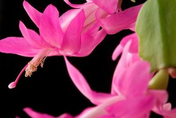 Christmas cactus is a popular holiday gift plant.