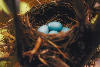 Harass nesting robins to shoo them before the female lays an egg.
