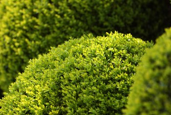 Bushes that need to keep a certain shape require pruning throughout the summer.