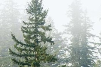 Spruce trees are tall and pyramidal in shape.