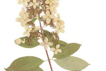 Recognize panicle hydrangea by its white flowers and rounded leaves.