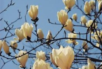 Magnolia flowers produce bright red seed cones in the fall.