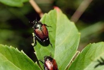 Japanese beetles can damage plants, but picking them off individually is often effective.