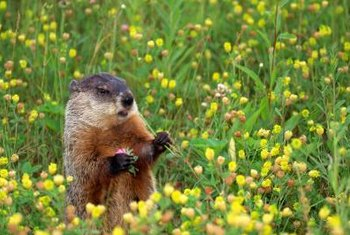 Groundhogs are also known as whistle pigs because of the shrill sound they make when distrubed.