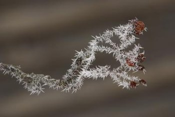 Frost can harm the surface of leaves and stems, or dig deeper harming the plant's body.