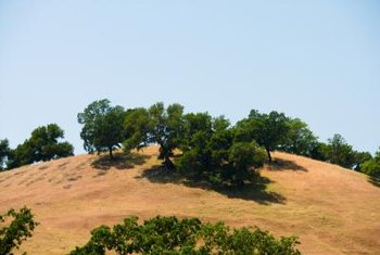 Native California oak trees are a valuable landscaping and environmental resource.