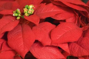 Poinsettia's true flowers are the tiny yellow centers of its large red bracts.