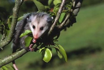 Opossum, about the size of a cat, often seeks shelter in trees.