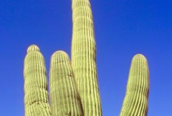 Mature saguaro cacti produce flowers that turn into edible fruits.