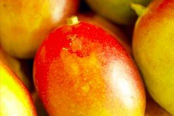 Mango trees produce fruits that are red and yellow when ripe.