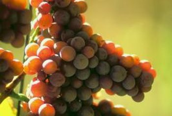 Remove the leaves that shade grapes for larger fruits.