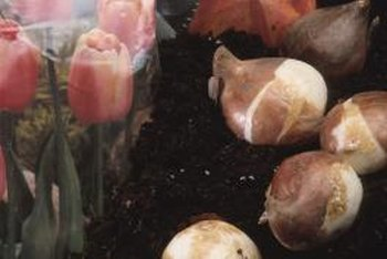 Store only the largest, firmest bulbs for replanting.