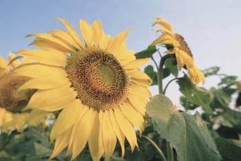 Sunflowers start the day facing the rising sun.