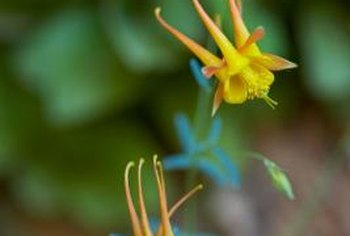 Columbine needs both stratification and exposure to light to germinate.