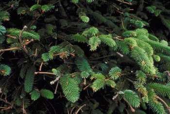 Sitka spruce grows along the West Coast from California to Alaska.