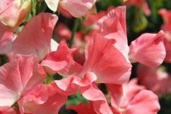 Sweet pea flowers bloom in a range of colors from pale pink to deep maroon.