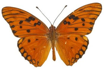 Caterpillars of the Gulf fritillary eat passion flower leaves.