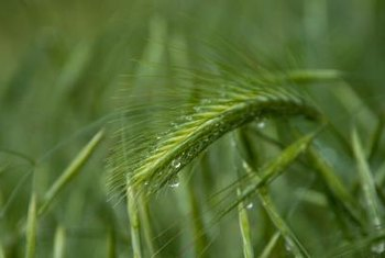 Winter wheat is a grass commonly used for erosion control.