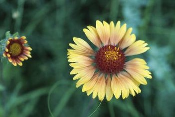 Blanket flowers typically produce yellow, red or orange blossoms.