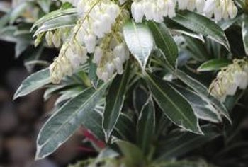 Handle Japanese pieris with care because its leaves and nectar are fatally poisonous.