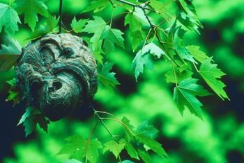 Baldfaced hornet nests often look like large gray footballs.