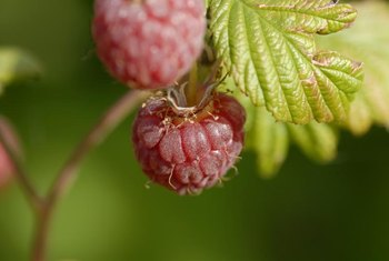 Raspberry plants bear red, yellow, purple or black fruits, depending on their variety.