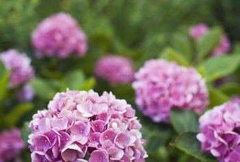 Hydrangeas bloom with white, blue or pink clusters of showy flowers.