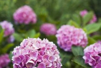 Hydrangeas can grow purple, blue, red or white flowers.