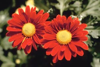 Painted daisies come in various shades of red.