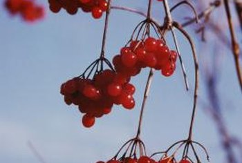 Because cherries and plums are closely related, they can be successfully grafted together.