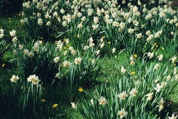 Daffodils are transplanted in fall or early spring when dormant.